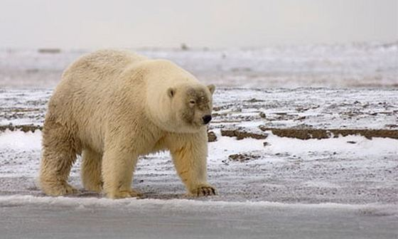 Polar Bear + Brown Bear = Grolar Bear_R