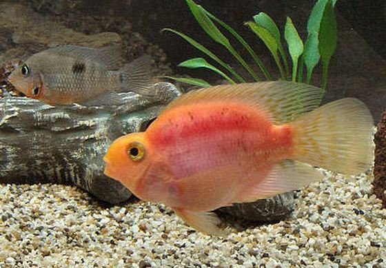 Midas Cichild + Red Devil fish = Blood parrot_R