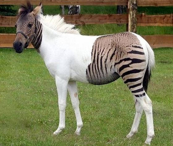 Zebra + Equine= Zebroid_R
