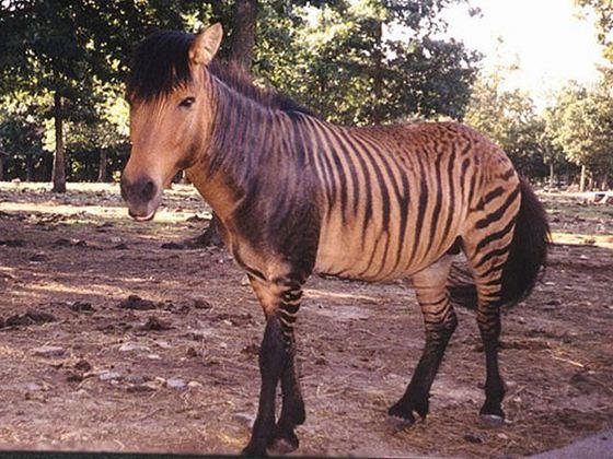 Zebra + Horse = Zorse_R