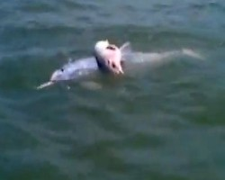 Mother Dolphin Carrying Dead Baby Calf