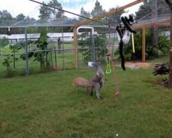 Kangaroos lemurs and deer OH MY