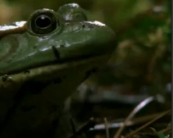 Frog versus poisnous newt