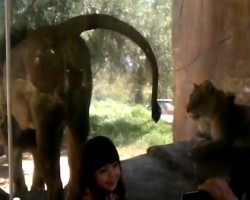 Lion pees on little girl