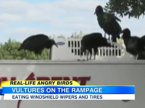 Real-life Angry Birds Attack Cars at Everglades National Park