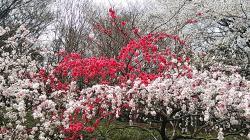 砧公園源平桃①2013.3.27