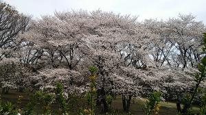 砧公園桜2013.3.27