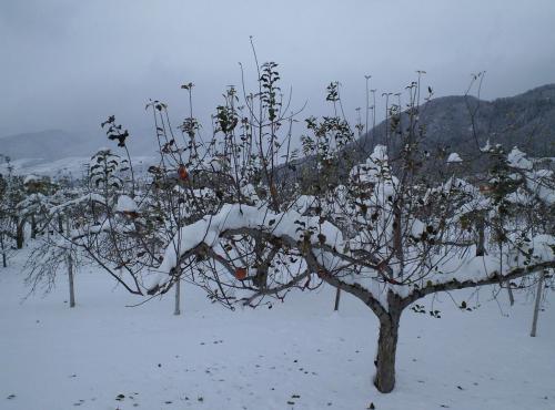 雪のリンゴ畑(26.12.14)