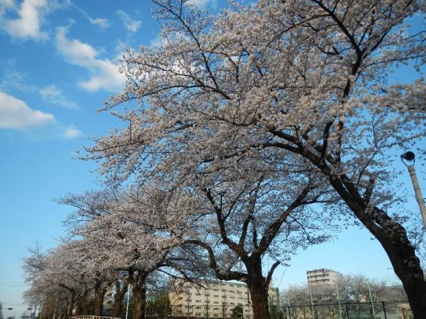 通勤路桜2013 (37)