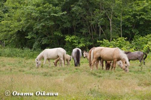 鹿部稲荷神社渡御祭 2012 野生馬