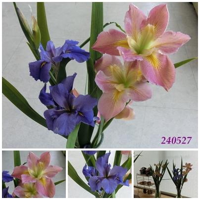 240527花菖蒲