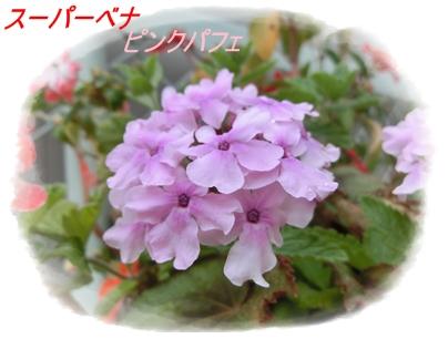 スーパーべナ(ピンクパフェ)2