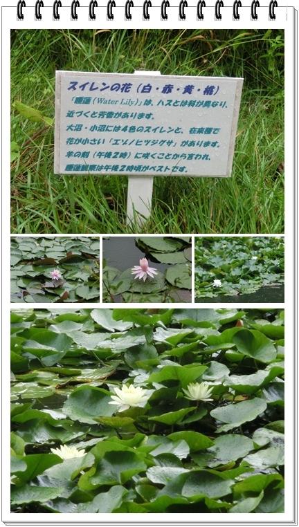 大沼公園(蓮)