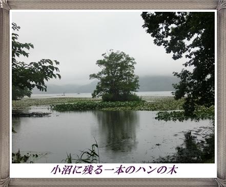 大沼公園(ハンの木)
