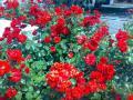 002_02_ブレーシアのバラ