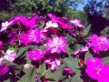 007_05_イソラ・ベッラ庭園の花_003