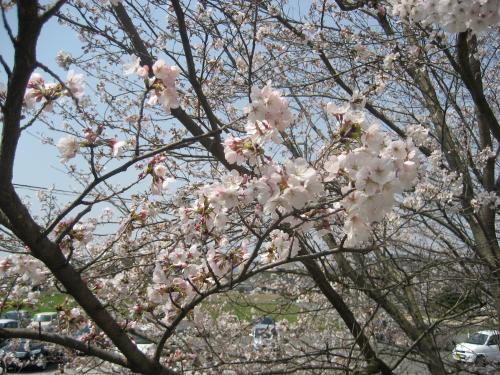 20130330桜1