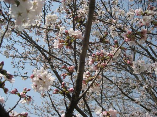20130330桜2