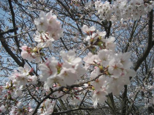 20130330桜3