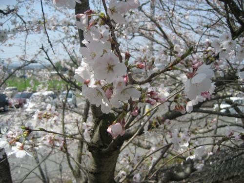20130330桜4