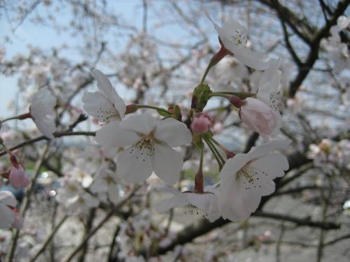 20130330桜5