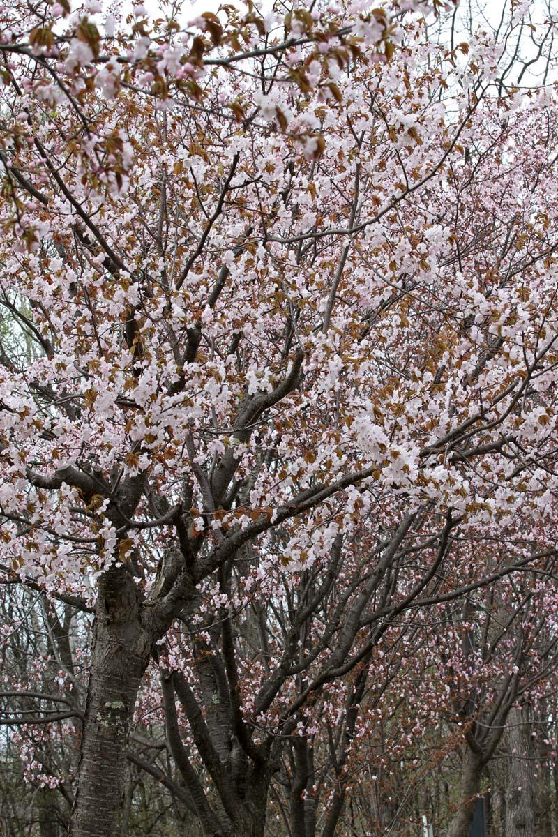 2012_0503dsakura 006-80