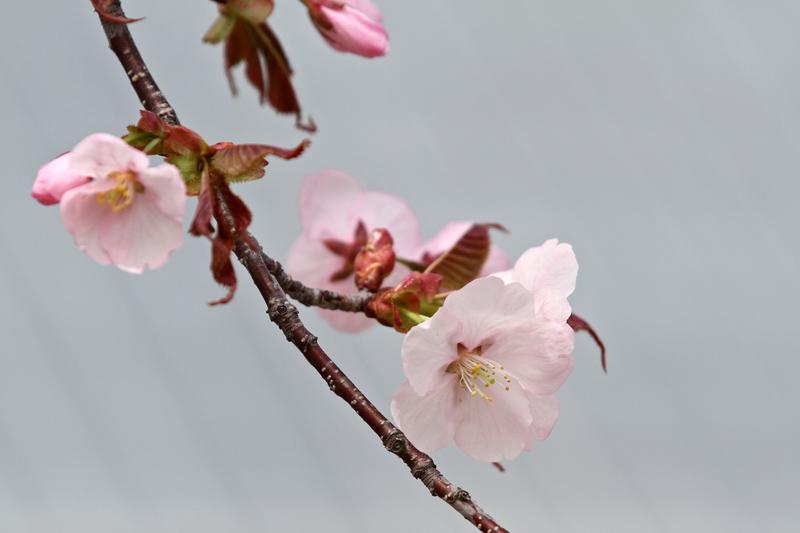 2012_0503dsakura 022-80