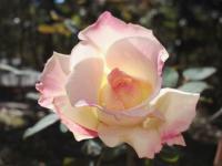 20121019秋の薔薇