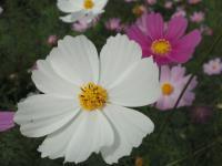 20121030 白い秋桜