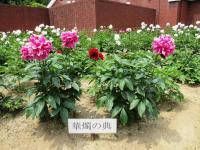 2012.5.19 マイントピアの芍薬