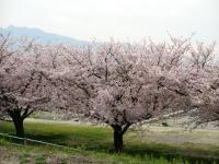 国領川河川敷の桜