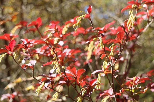 六甲紅葉紅い葉っぱ 26.10.29