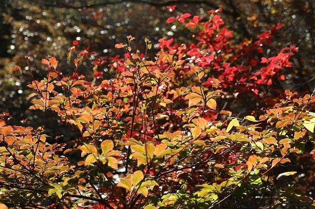 六甲植物園紅葉 赤 26.10.29