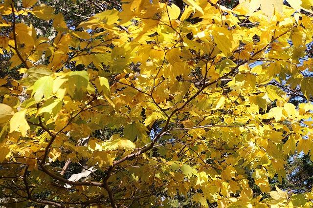 木の葉紅葉黄色 26.10.29