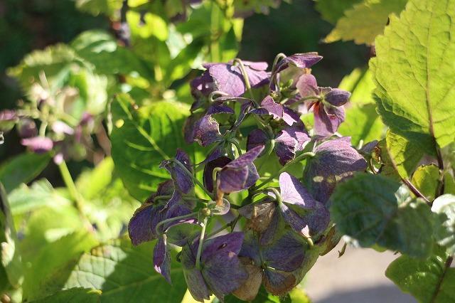 紫陽花みたい紫花 26.10.29