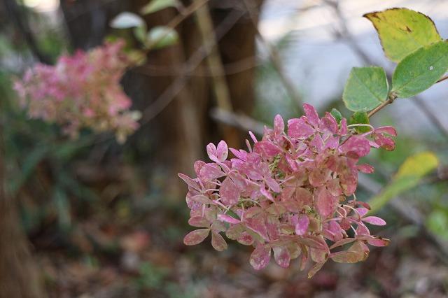 紫陽花みたい 26.10.29