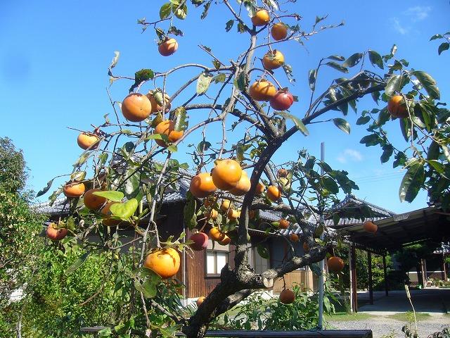 11月柿の実収穫 26.11.4
