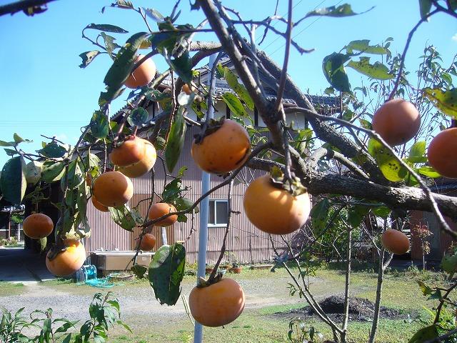 柿の実全部収穫 26.11.4