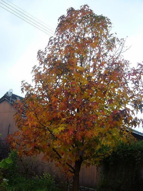 雨の中の紅葉 26.11.26