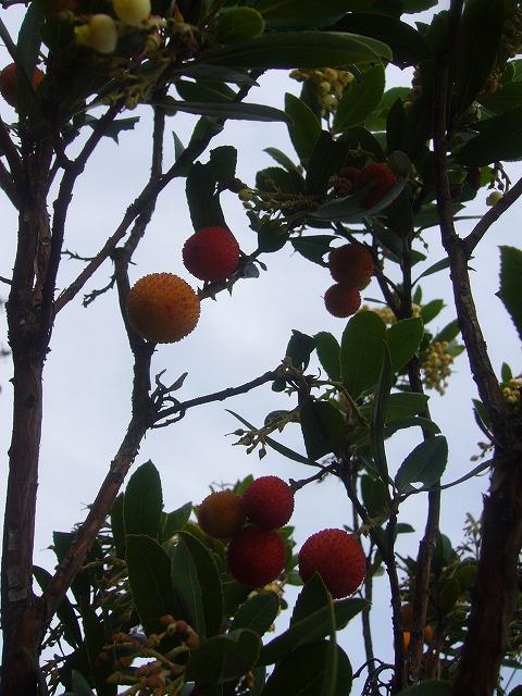 白花姫苺の木 縦です 26.12.8
