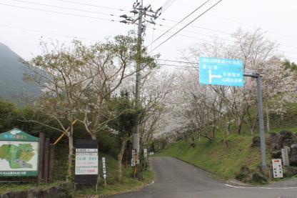 20130413_01開聞岳の桜