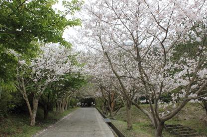 開聞岳の桜