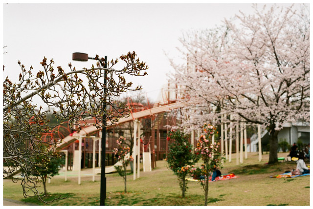 すべり台と桜