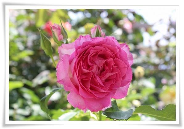 s-ピンクオブプリンセス0521IMG_5810
