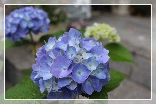 s-0604四季咲きアジサイIMG_6619