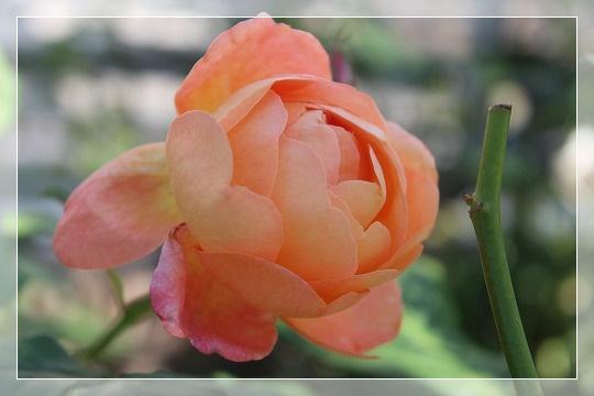 s-0604レディ・エマ・ハミルトンIMG_6633