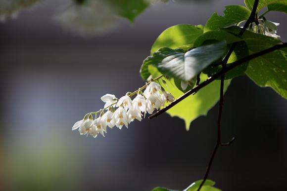 ハクウンボク (白雲木)