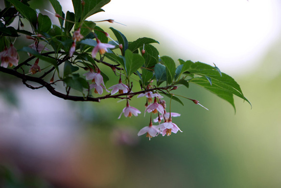 ベニバナエゴノキ(紅花エゴノキ)