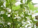 ヤマトタチバナの花2