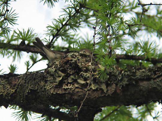コサメビタキの巣